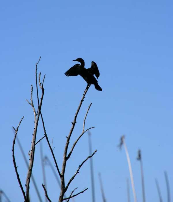 Bird in Suisun Marsh