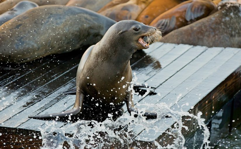 Weekend Picks: San Francisco Sea Lion Walking Tour, Oakland Grand Lake Food Tour, Sacramento Dine Downtown, and Davis Friday ArtAbout
